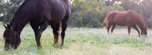 Changing Equine Behavior with Forage.
