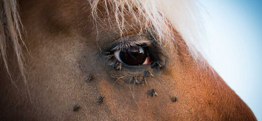 Protect Your Horses From Flies: How Feed-Through Fly Control Makes a Difference.